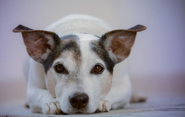 pies z uszami